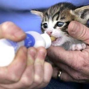 การให้นมแมวทารกกำพร้าแม่