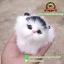 แมวสีขาวหูสีดำ นอนหลับในตะกร้าหวาย 12x12 CM [มีเสียง] thumbnail 3