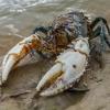 การช่วยย้ายถิ่นฐานกุ้ง Murray Crayfish เพื่อดำรงรักษาเผ่าพันธุ์ของกุ้งชนิดนี้ไว้ โดยความร่วมมือของชาวประมงท้องถิ่น และ นักวิทยาศาสตร์