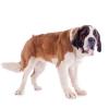สัญญาณที่บ่งบอกว่าน้องหมา เป็นโรคข้อสะโพกเสื่อม