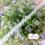 ลูกไม้แต่ง สีขาว แบ่งขายเป็นหลา (90 ซม.) thumbnail 3