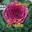 เมล็ดพันธุ์ปูเล่ม่วง ญี่ปุ่น 20เมล็ด thumbnail 1