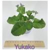 Yukako - Standard Chimera