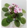 Allegro Cupid Pink - Semiminiture