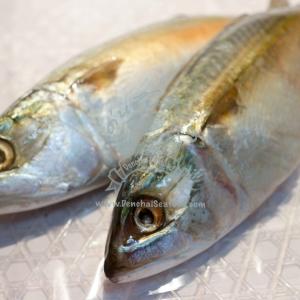 ปลาทูฟิตจัมโบ้