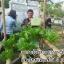 ชาอิงดอย สูตร 1 ชาสมุนไพร สำหรับผู้ป่วยเบาหวาน ขนาดบรรจุ 30 ซองชา thumbnail 4