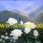 ดอกกุหลาบขาว(ขายดีมากสั่งทำใหม่ได้) thumbnail 1